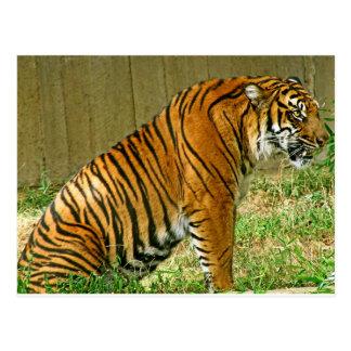 Tigre feroz postal