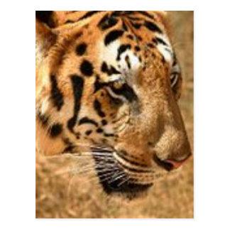 Tigre que acecha en la India Postal
