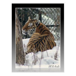 Tigre que mira sobre hombro postal