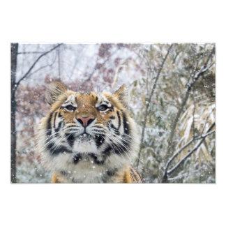Tigre real en nieve impresiones fotográficas