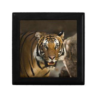 Tigre siberiano caja de regalo
