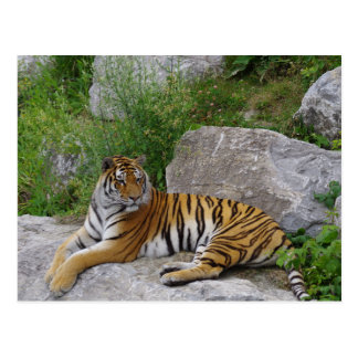 Tigre siberiano que se relaja en una roca postal