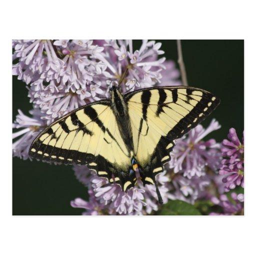 Tigre Swallowtail Tarjetas Postales