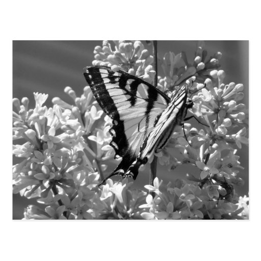 Tigre Swallowtail Tarjeta Postal