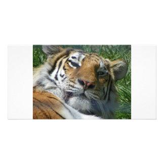 Tigre Tarjetas Fotograficas