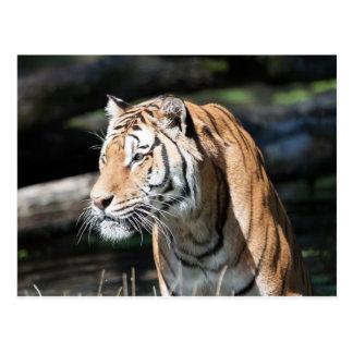 tigre tarjeta postal
