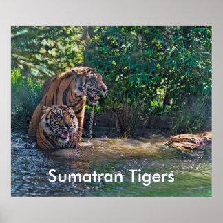 Tigres de Sumatran Posters