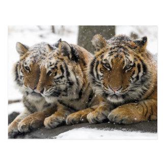 Tigres del invierno postal