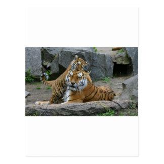 Tigresa y cachorro de tigre juguetón 1 postales