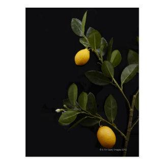 Todavía limones en su rama postal
