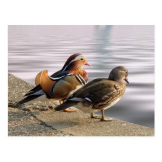 Togertherness de los patos de mandarín postal