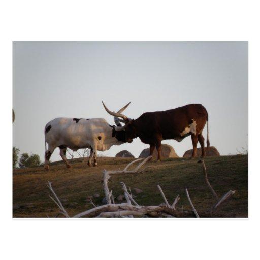 Toros que luchan postales