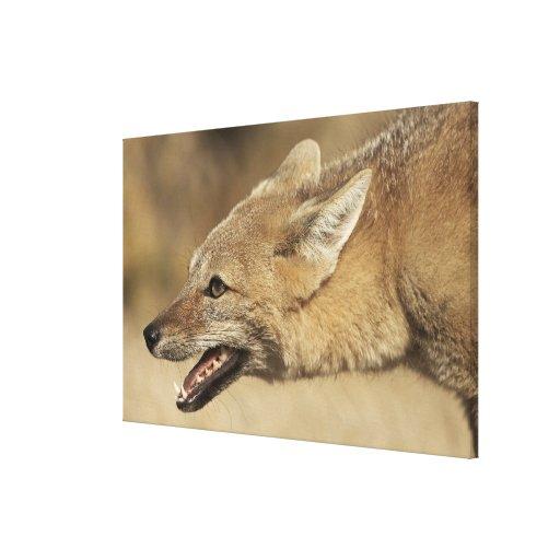 Torres del Paine, Chile. Fox gris patagón, Impresión En Lona Estirada