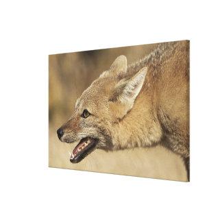 Torres del Paine, Chile. Fox gris patagón, Lienzo Envuelto Para Galerias