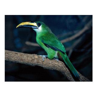 Toucanet esmeralda, Suramérica Postal