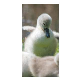 Tres anadones del pollo del cisne del cisne del tarjetas fotograficas personalizadas