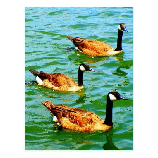 Tres gansos canadienses postal