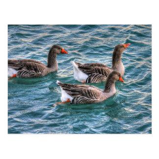Tres gansos que nadan en agua azul postales