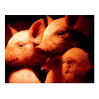 Tres pequeños cerdos postal