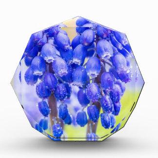Trofeo Acrílico Dos jacintos de uva azules en primavera