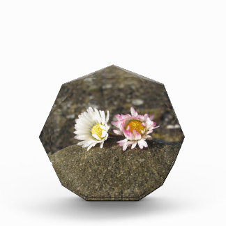 Trofeo Acrílico Dos margaritas blancas que mienten en la piedra en
