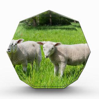 Trofeo Acrílico Dos ovejas holandesas blancas en prado verde de la