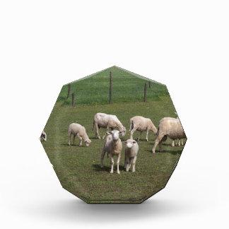 Trofeo Acrílico Manada de ovejas