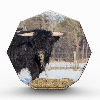 Trofeo Acrílico Toro escocés del montañés que come el heno en