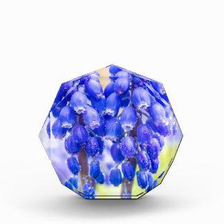 Trofeo Dos jacintos de uva azules en primavera