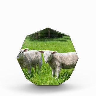 Trofeo Dos ovejas holandesas blancas en prado verde de la