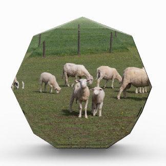 Trofeo Manada de ovejas