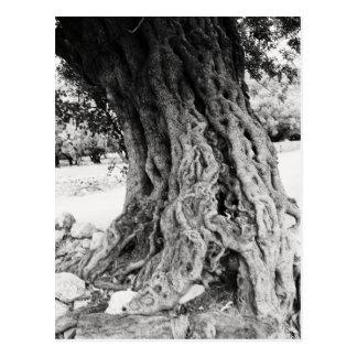 Tronco del olivo antiguo en la fotografía de postal