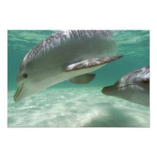 Truncatus) del Tursiops de los delfínes de Bottlen Impresiones Fotograficas