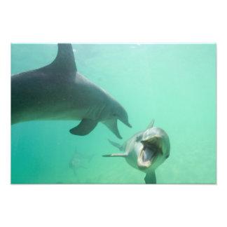 Truncatus) del Tursiops de los delfínes de Bottlen Fotografías