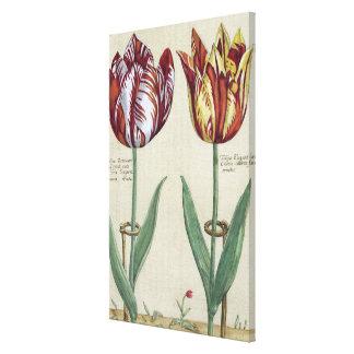 Tulipa Octaviani del pont, y Tulipa elegante, para Impresión En Lienzo