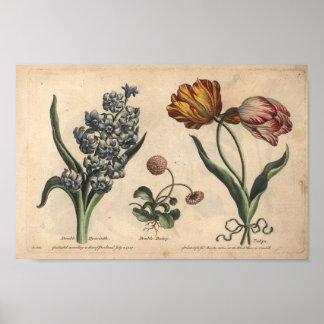 Tulipán botánico de la impresión del arte de la