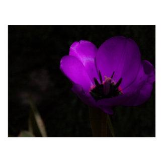 Tulipán violeta postal