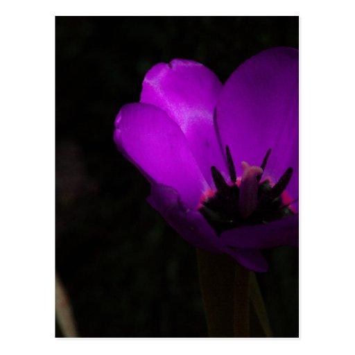 Tulipán violeta tarjeta postal
