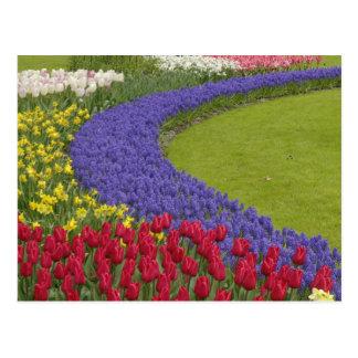 Tulipán y jardín del jacinto y del narciso de uva, tarjetas postales