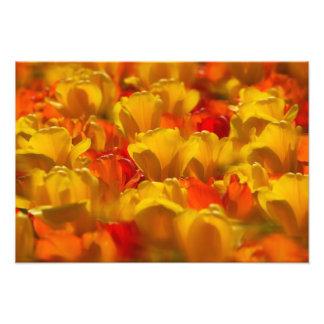 Tulipanes en los jardines de Keukenhof Amsterdam Cojinete