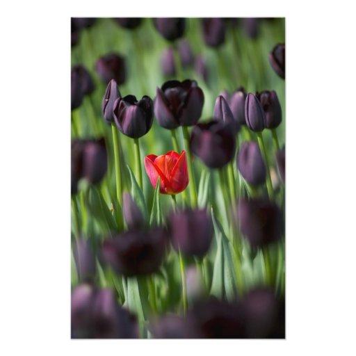 Tulipanes en los jardines de Keukenhof, Amsterdam, Fotografia