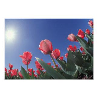 Tulipanes rojos del ángulo muy bajo, Cincinnati, Impresión Fotográfica