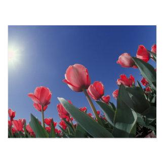 Tulipanes rojos del ángulo muy bajo Cincinnati Postales