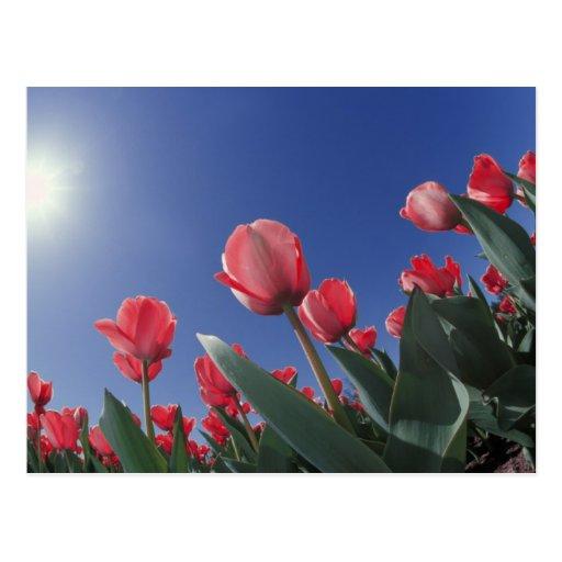 Tulipanes rojos del ángulo muy bajo, Cincinnati, Postales