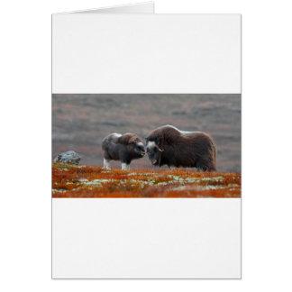 Un buey y un becerro de almizcle tarjeta