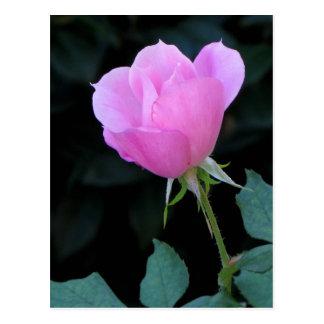 Un capullo de rosa rosado postal