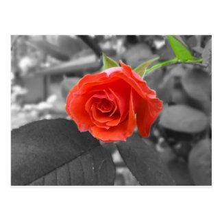 Un color de rosa de la esperanza postal