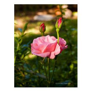 Un color de rosa rosado y dos capullos de rosa postal