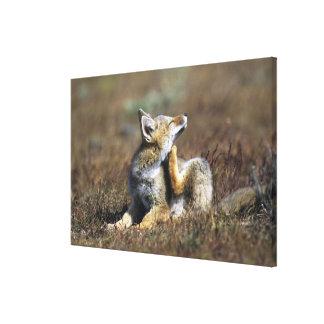 Un Fox gris joven de Argentina, (griseus del Impresiones De Lienzo