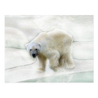 Un frío helado de los osos polares postal